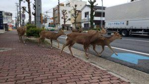 Τόκιο: Οι αρχές κάλεσε τους πολίτες να παραμείνουν στα σπίτια έτσι η πόλη απέχτησε νέους κατοίκους, τα ελάφια
