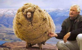 Ενα πρόβατο σύμβολο στη Νέα Ζηλανδία που 6 χρόνια κρυβόταν σε μια σπηλιά για να μην το κουρέψουν