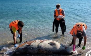 Νεκρές βρέθηκαν επτά μεσογειακές φώκιες στο Αιγαίο τους τελευταίους μήνες