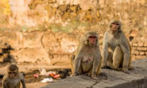 Δείγματα αίματος ασθενών με κορονοϊό «άρπαξε» από ιατρικό εργαστήριο αγέλη πιθήκων στην Ινδία