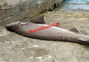 Σε παραλία της Κορίνθου εκβράστηκε καρχαρίας 2 μέτρων