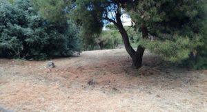 Πεντέλη : Καθημερινά συνεχίζει δυναμικά την αποψίλωση χόρτων
