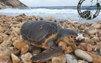 Νάξος : Η 11η καταγεγραμμένη νεκρή θαλάσσια χελώνα βρέθηκε στην παραλία της Στελίδας του νησιού