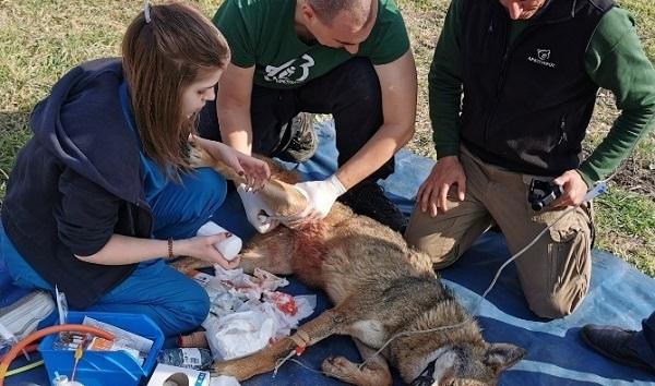 «Αρκτούρος»: Η τραυματισμένη λύκαινα που βρέθηκε στον Καστανά Θεσσαλονίκης δεν θα επιστρέψει στο δάσος