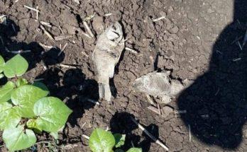 Λάρισα: Περίεργο φαινόμενο - Γέμισαν ψάρια τα χωράφια στην περιοχή των Φαρσάλων