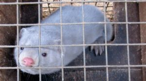 Ολλανδία : Μετά από «πιθανή» μετάδοση κορωνοϊού σε ανθρώπους οι αρχές διέταξαν των σφαγιασμό 10.000 ζώων βιζόν