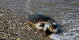 Περιβάλλον : Στην Παραλία του Μεγάλου Καβουριού εντοπιστικέ νεκρή θαλάσσια χελώνα