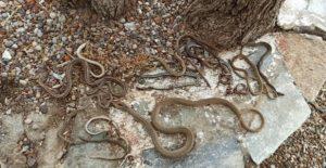 Ωροπός : Μαζί με τον τεράστιο όγκο φερτών υλικών από την πλημμυρισμένη Εύβοια ξεβράστηκαν στην παραλία και εκατοντάδες φίδια, σαύρες και χελώνες