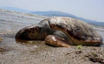 Γλυφάδα: Το μεσημέρι στις 6/8 βρέθηκε μία χελώνα νεκρή στην παραλία