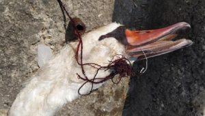 Περιβάλλον : Άλλος ένας κύκνος νεκρός στην λίμνη Ορεστιάδα της Καστοριάς καταπίνοντας τα αγκίστρια κάποιου ασυνείδητου ψαρά