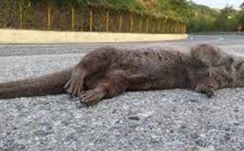 Καστοριά: Βρέθηκε στον παραλίμνιο δρόμο νεκρή βίδρα