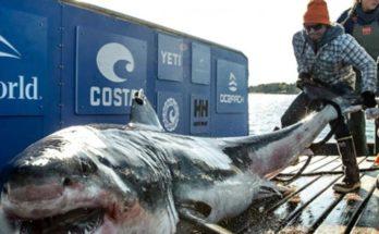 Μισό εκατομμύριο καρχαρίες κινδυνεύουν να θανατωθούν για το… εμβόλιο του κορονοϊο
