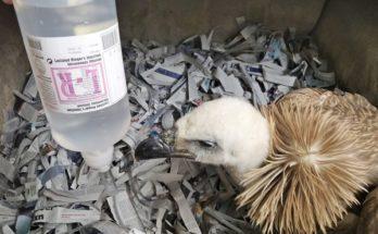 Περιβάλλον : Νεαρός γύπας από τα Αστερούσια που είχε δηλητηριαστεί