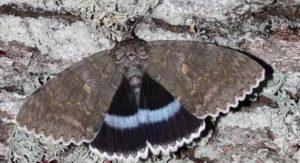 Περιβάλλον: Στην Ουκρανία ανακαλύφθηκε πεταλούδα σε μέγεθος πουλιού στο Τσερνομπίλ