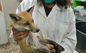 Περιβάλλον : Χτυπημένο αλεπουδάκι από τροχαίο στην Κέρκυρα στο Σύλλογο Προστασίας και Περίθαλψης Άγριας Ζωής