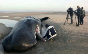 Διεθνή: Νεκρές 100 φάλαινες τα νησιά Κάθαμ στην Νέα Ζηλανδία