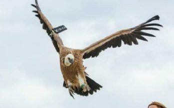 Εικόνες : Μετά την θεραπεία του πετάει Ελεύθερο πλέον το Όρνεο