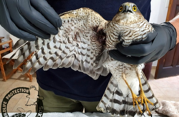 Περιβάλλον: Άλλο ένα πυροβολημένο αρπακτικό πτηνό βρέθηκε στη Νάξο