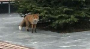 Ελλάδα : «Καραντίνα» Στην λεωφόρο Βουλιαγμένης εμφανίστηκαν αλεπούδες