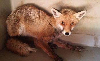 Περιβάλλον: Σχεδόν έτοιμο για να επιστέψει στην φύση μικρό αλεπουδάκι που περιθάλφθηκε στο Σύλλογο Προστασίας ΑΝΙΜΑ