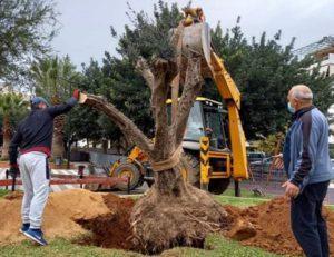 Χαλάνδρι: Τρεις αιωνόβιες ελιές «ρίζωσαν» στο Χαλάνδρι