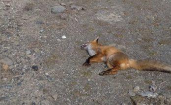 Γρεβενά: Βρέθηκε νεκρή μια νεαρή αλεπού που έχασε τη ζωή της από κατανάλωση κρέατος εμποτισμένου με δηλητηριώδη ουσία