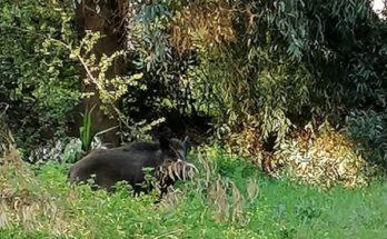 Πεντέλη: Ανακοίνωση της Πολιτικής Προστασίας Δήμου Πεντέλης-Εθελοντικό Κλιμάκιο εντός του ΝΙΕΘ υπάρχει ένα αγριογούρουνο προσοχή στους περιπατητές.
