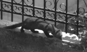 Καστοριά: «Απίστευτο» μικρόσωμο ζωάκι μινκ εμφανίστηκε σε μπάνιο ισόγειου σπιτιού όπου βγήκε από την λεκάνη σκορπίζοντας τον τρόμο