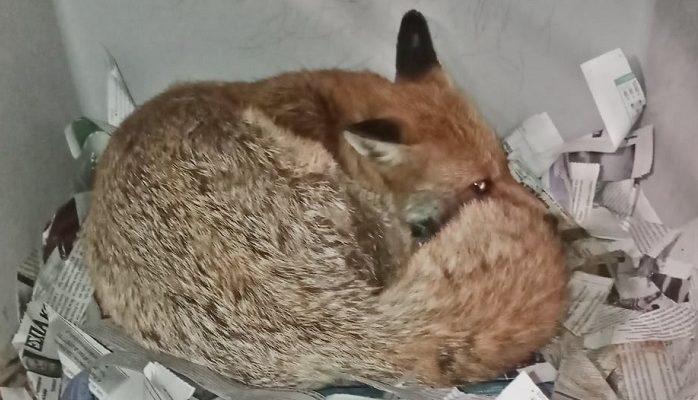 ΑΝΙΜΑ : Μεγάλη κινητοποίηση στο διαδίκτυο για μια αλεπουδίτσα που είχε σπασμούς και συμπτώματα δηλητηρίασης